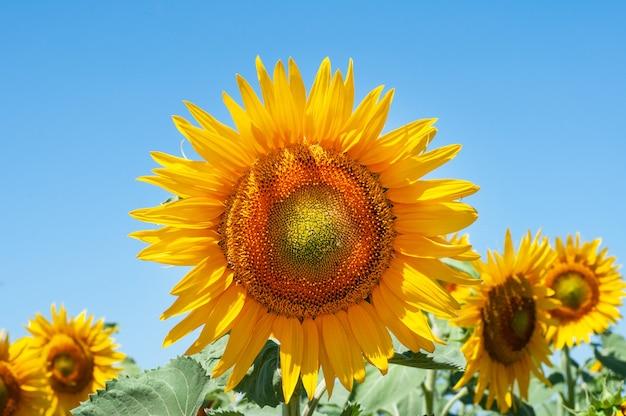 Zonnebloem bloemen in het veld heldergele bloemen in de zomer