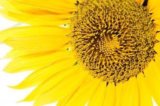 Zonnebloem, de groei