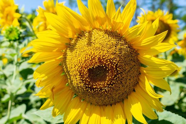 Zonnebloem die op het gebied dicht omhoog groeien