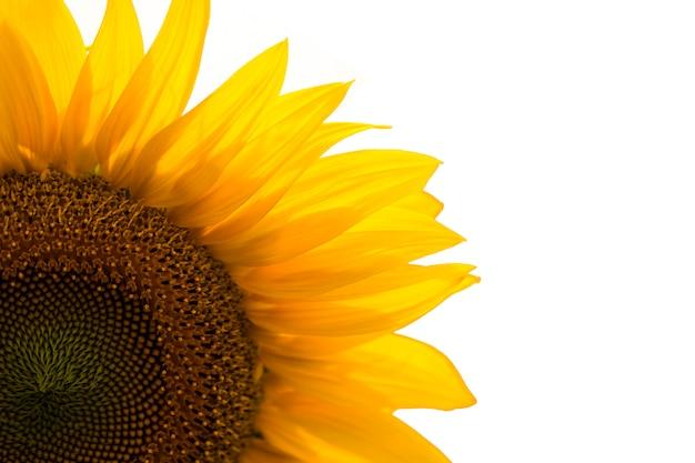Zonnebloem die op witte achtergrond wordt geïsoleerd