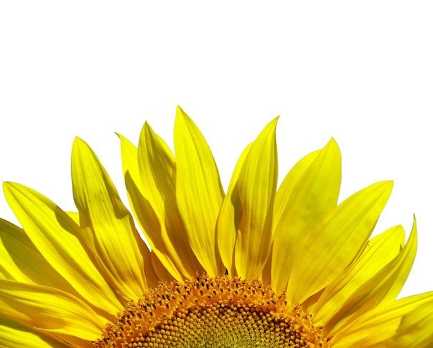 Zonnebloem die over witte achtergrond wordt geïsoleerd