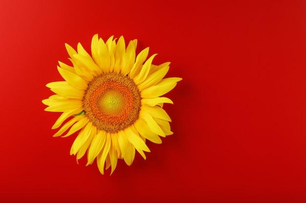 Zonnebloem geel op een rood. vrije ruimte om te kopiëren.