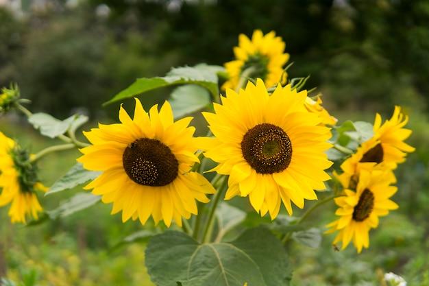 Zonnebloem groeien. zonnebloemen bloeien. een prachtig zonnebloem veld.