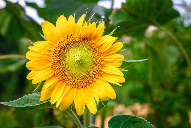 Zonnebloem in de tuin