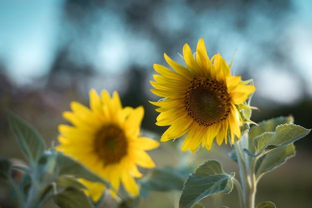 Zonnebloem in de zon in kunstverwerking landbouwgewas