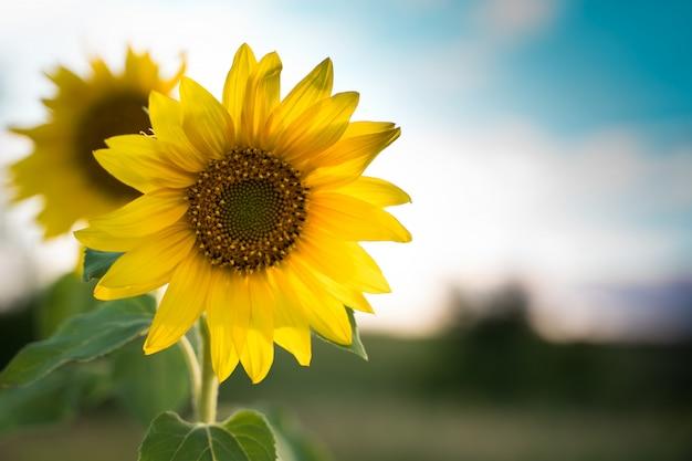 Zonnebloem in de zon.