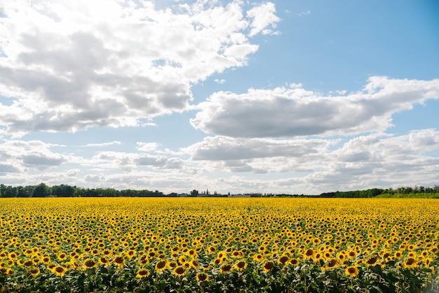 Zonnebloem in een veld met zonnebloemen onder de blauwe hemel en mooie wolken in een landbouwgebied