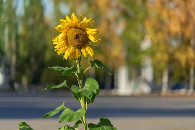 Zonnebloem in het park. een eenzame zonnebloem op de voorgrond