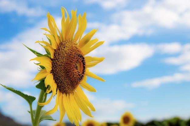 Zonnebloem in tuin met hemel