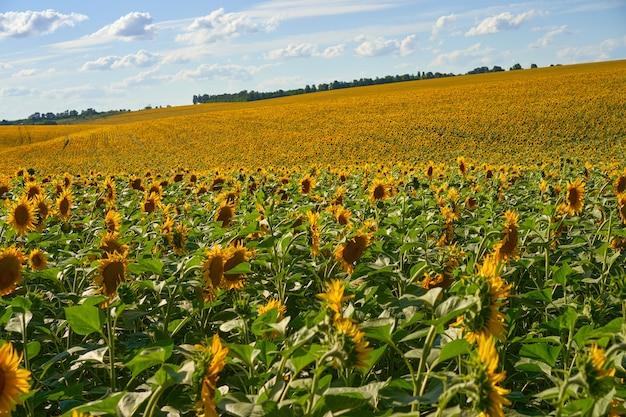 Zonnebloem landbouwgebied bewolkte hemelachtergrond oogstseizoen zomer