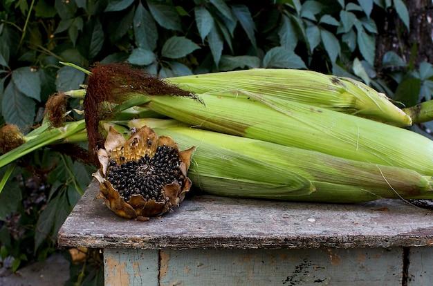 Zonnebloem maïs tuin herfst