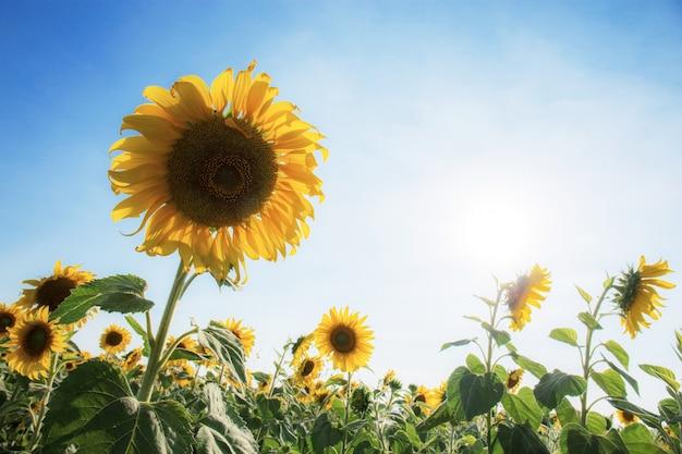 Zonnebloem met blauwe lucht.
