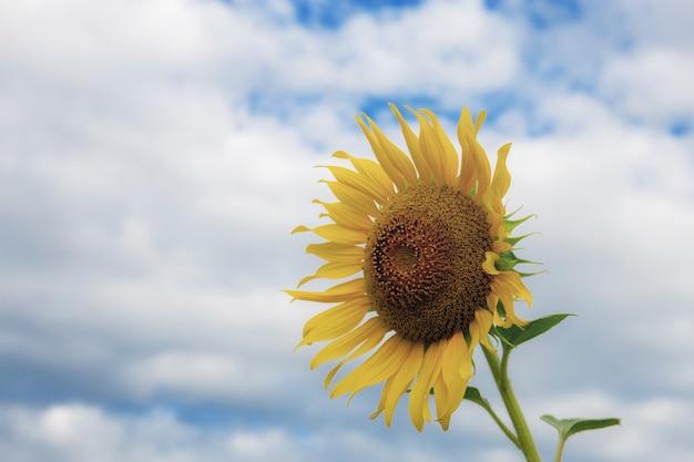 Zonnebloem met de lucht