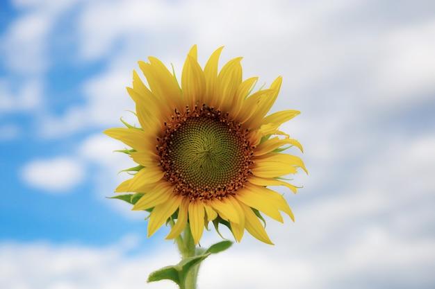 Zonnebloem met de lucht.