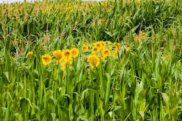 Zonnebloem met gele bloemblaadjes