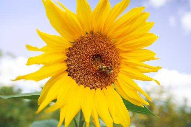 Zonnebloem met groene knop zonnebloem bloesem