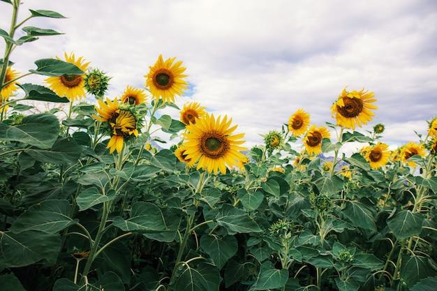 Zonnebloem met mooi bij hemel.
