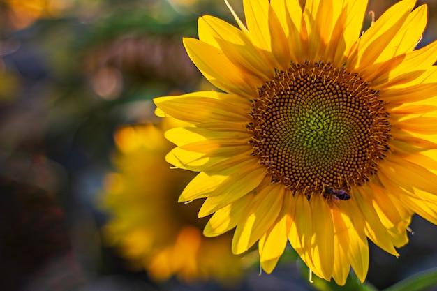 Zonnebloem met wesp die nectar verzamelt