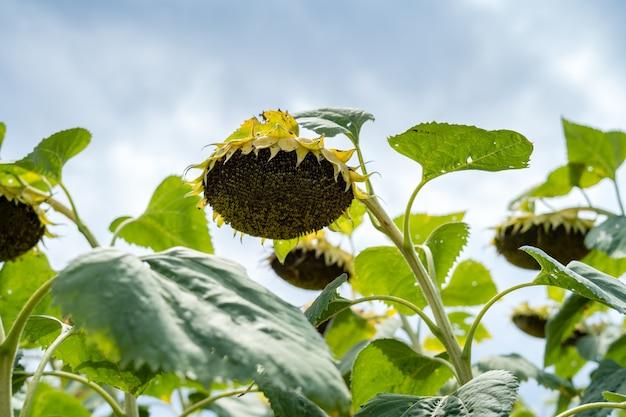 Zonnebloem na bloei op het veld groot