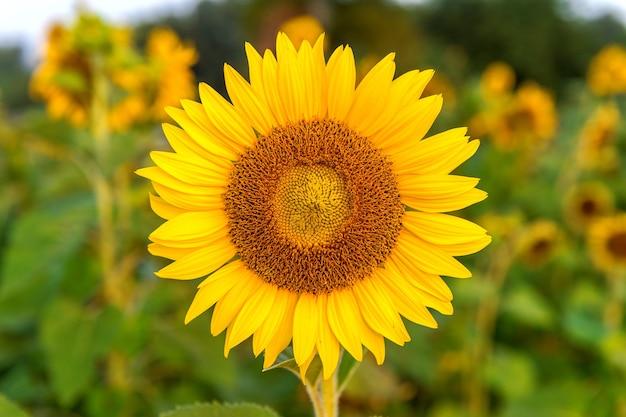 Zonnebloem natuurlijke achtergrond, zonnebloem bloeien in het voorjaar.
