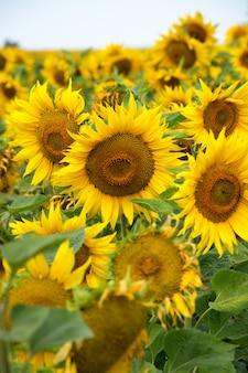 Zonnebloem natuurlijke achtergrond zonnebloem bloeien op zonnige heldere dag