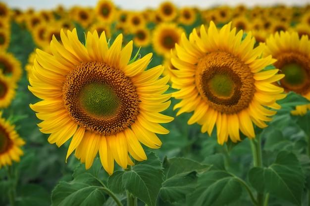 Zonnebloem natuurlijke achtergrond. zonnebloemen die op bewolkte dag bloeien. close-up van planten.