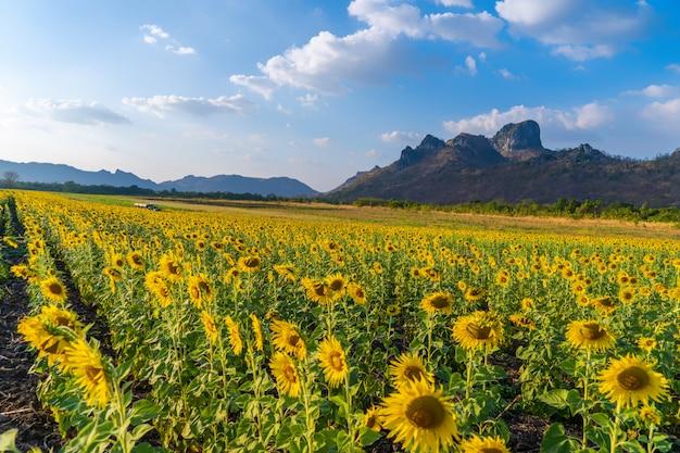 Zonnebloem. natuurlijke zonnebloem. zonnebloem die in de landbouw met blauwe hemel bloeit.