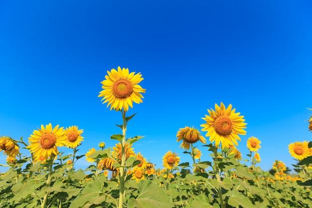 Zonnebloem onder de blauwe hemel.