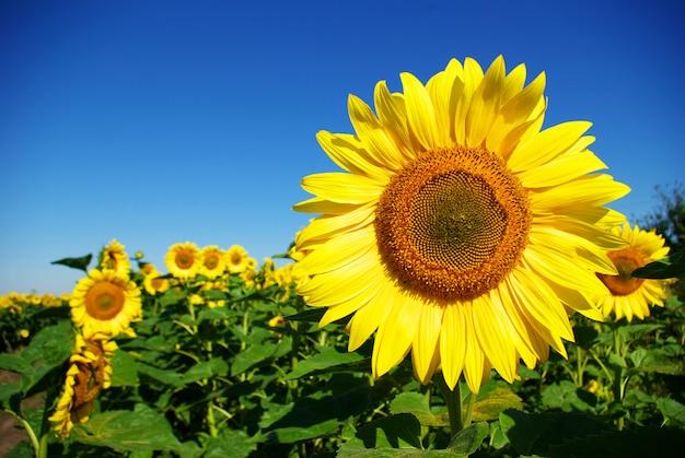 Zonnebloem op blauwe hemel