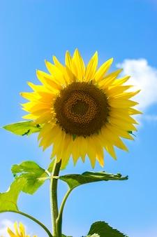 Zonnebloem op blauwe hemelachtergrond op een zonnige dag