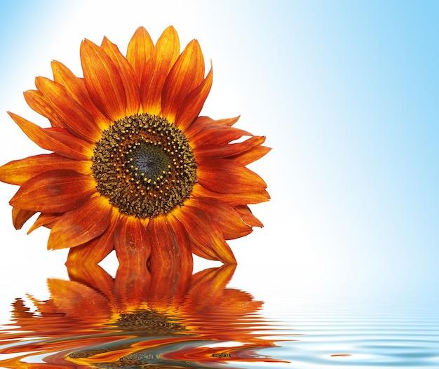 Zonnebloem op blauwe lucht in water
