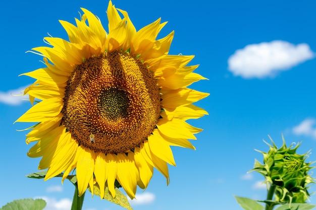 Zonnebloem op de blauwe hemelachtergrond