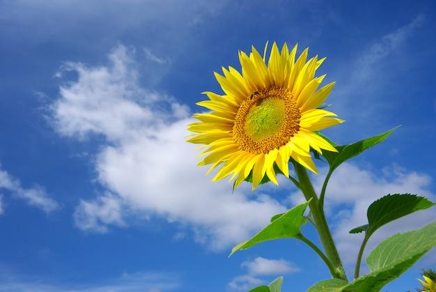 Zonnebloem op hemel