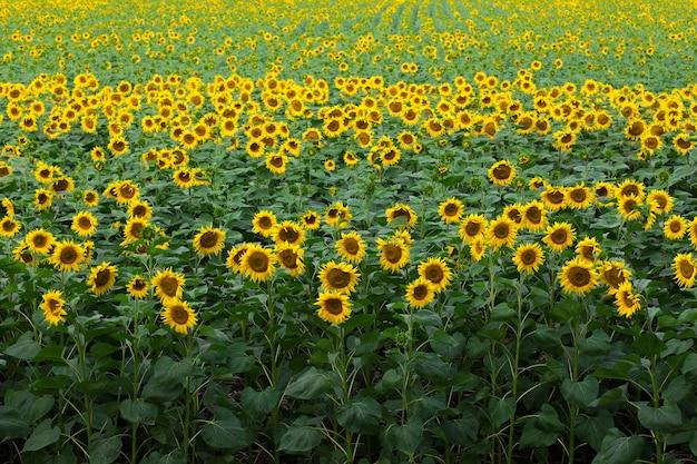 Zonnebloem op het veld staat en kijkt naar je achtergrond