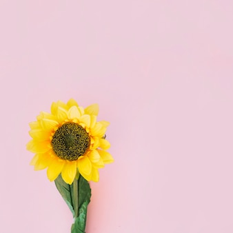 Zonnebloem op roze achtergrond