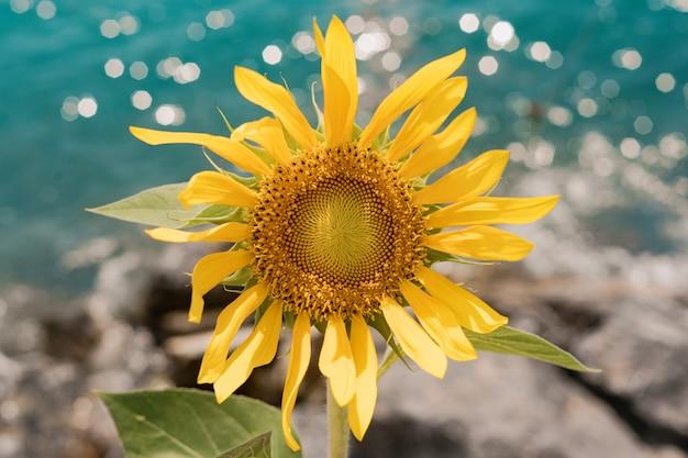 Zonnebloem op zee achtergrond
