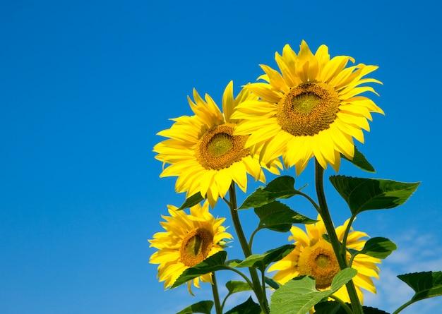 Zonnebloem over bewolkte blauwe hemel