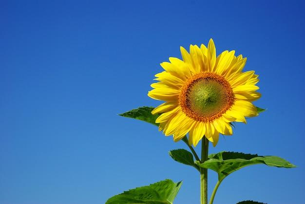 Zonnebloem over blauwe hemel