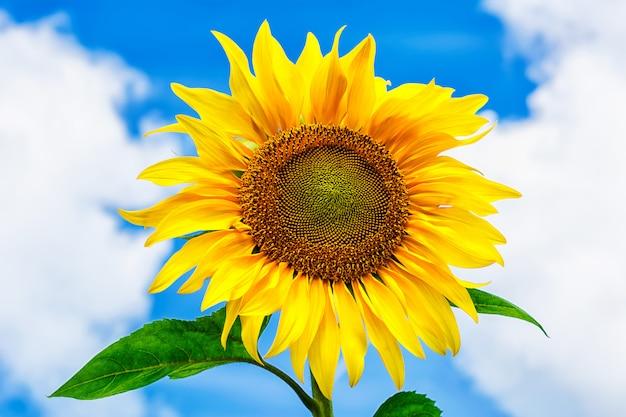 Zonnebloem over de zomer blauwe hemel