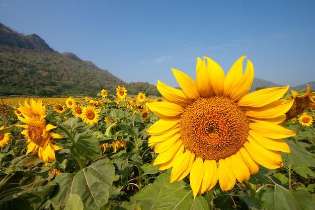 Zonnebloem soorten uit thailand