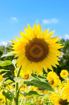 Zonnebloem tegen de blauwe hemel