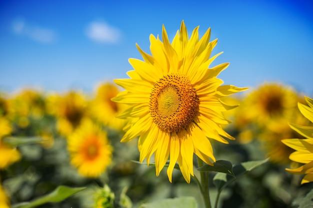 Zonnebloem tegen een achtergrond van blauwe lucht en een veld met zonnebloemen. nauwe focus.