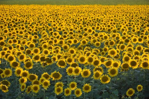 Zonnebloem veld bij zonsondergang, veel zonnebloemen