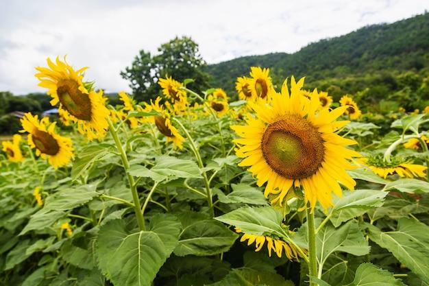 Zonnebloem veld en zonnebloem achtergrond