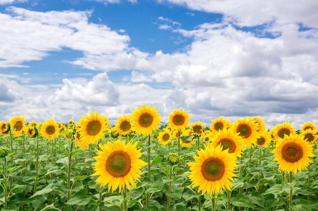 Zonnebloem veld landschap