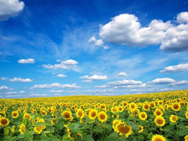 Zonnebloem veld met bewolkte blauwe hemel