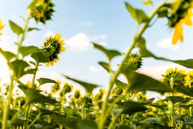Zonnebloem veld met de lucht
