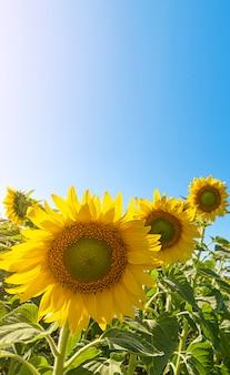 Zonnebloem veld met schittering van de zon en blauwe hemel. landschap met exemplaarruimte.