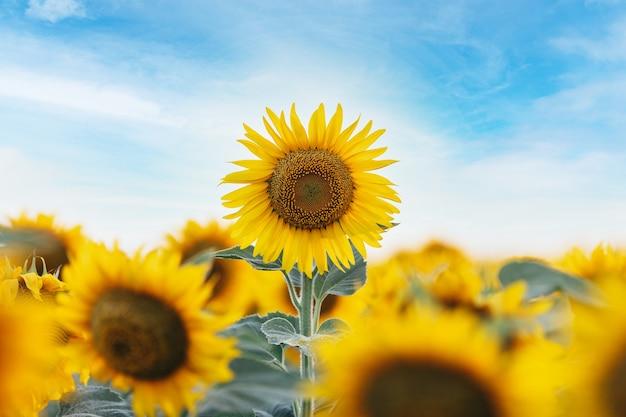 Zonnebloem, veld met zonnebloemen tegen blauwe zomerhemel