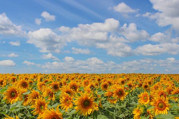 Zonnebloem veld over bewolkte blauwe hemel en felle zon lichten